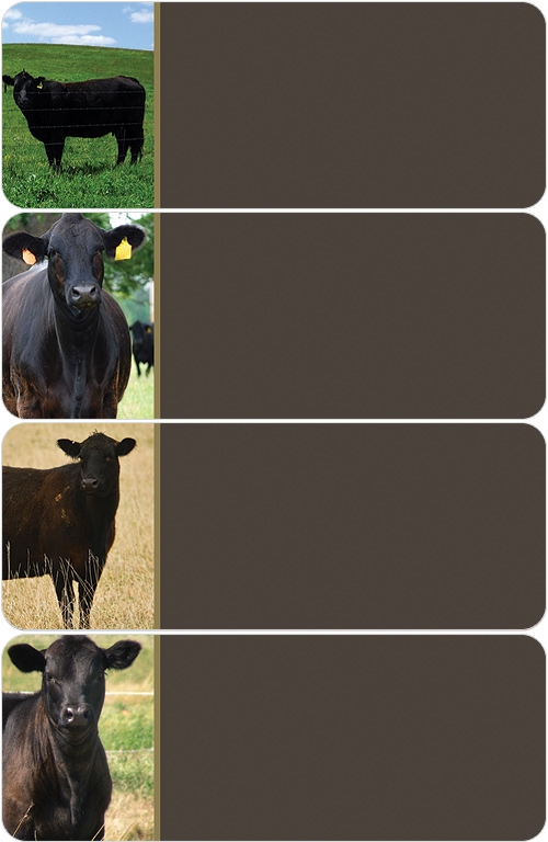 Black Angus Cows Address Labels